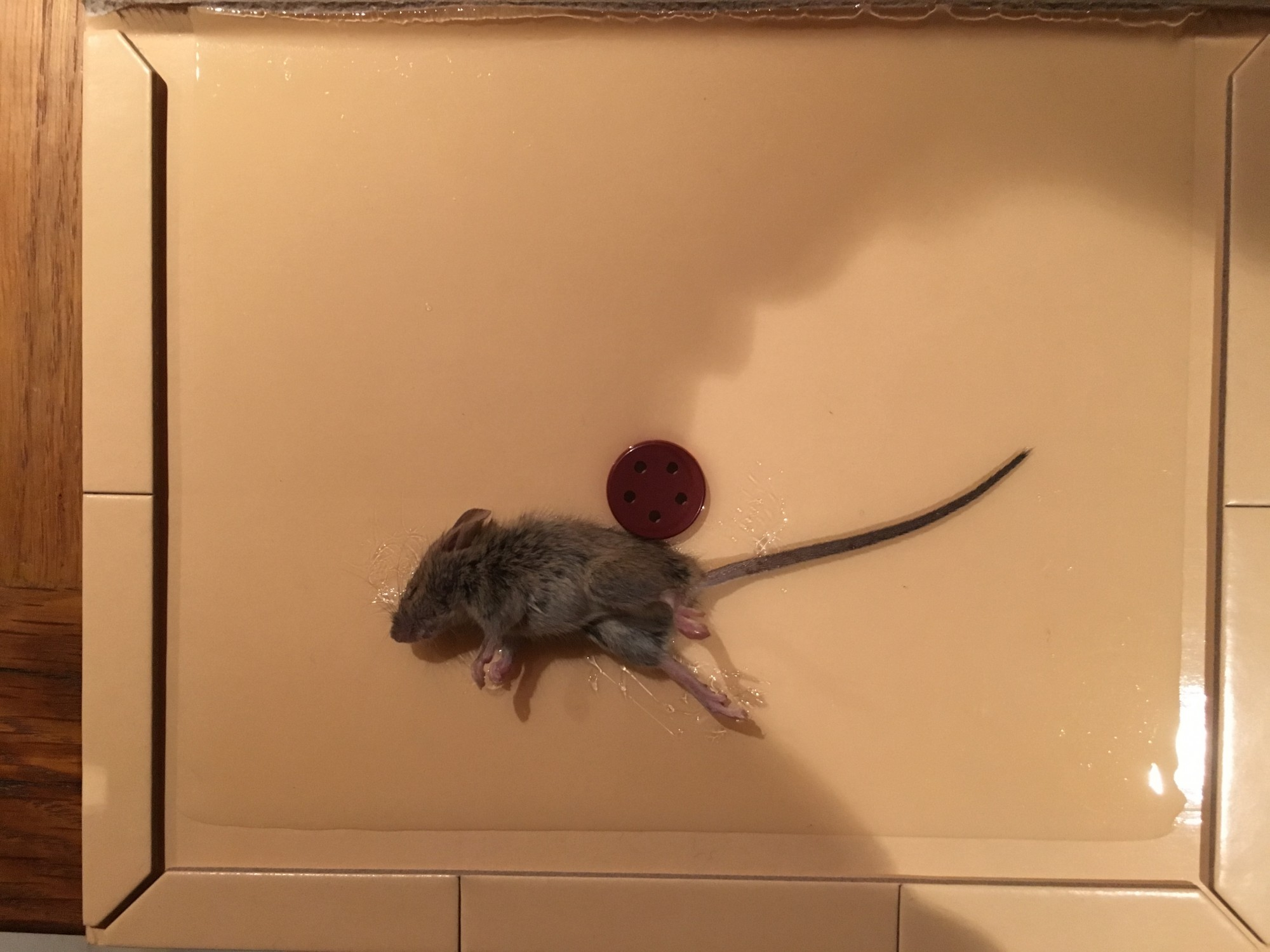 Souris Grimpe Au Mur dératisation de souris mus musculus - hygiène centre est
